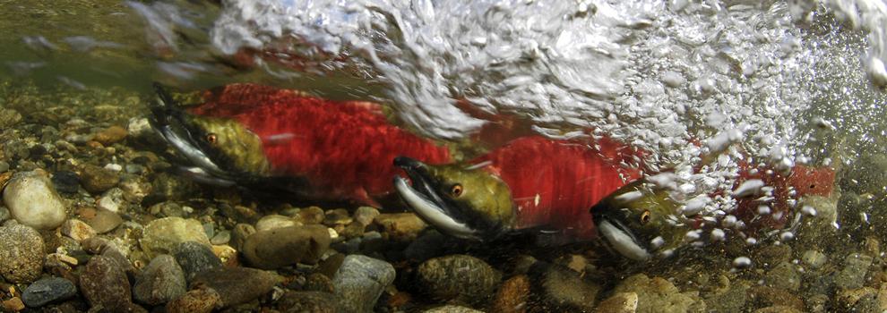 2014 Salmon Run I