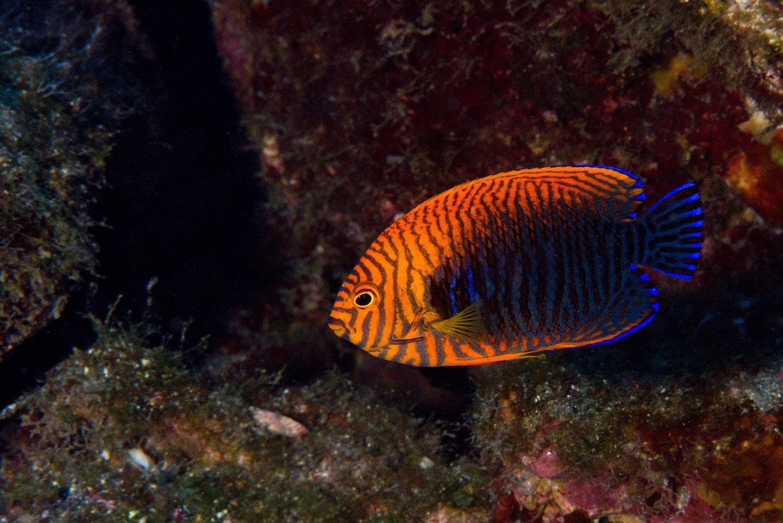 Hawaii - Riff Fisch