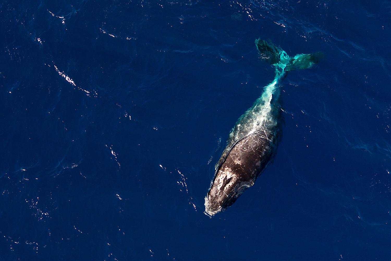 Hawaii - Buckelwal - Luftaufnahme