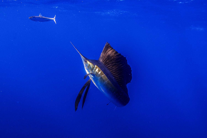 Waterworld Tauchreisen, Segelfisch beim Jagen mit einzelnem Fisch