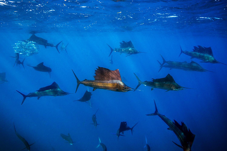 Waterworld Tauchreisen, Segelfische beim Jagen mit dezimiertem Fischschwarm