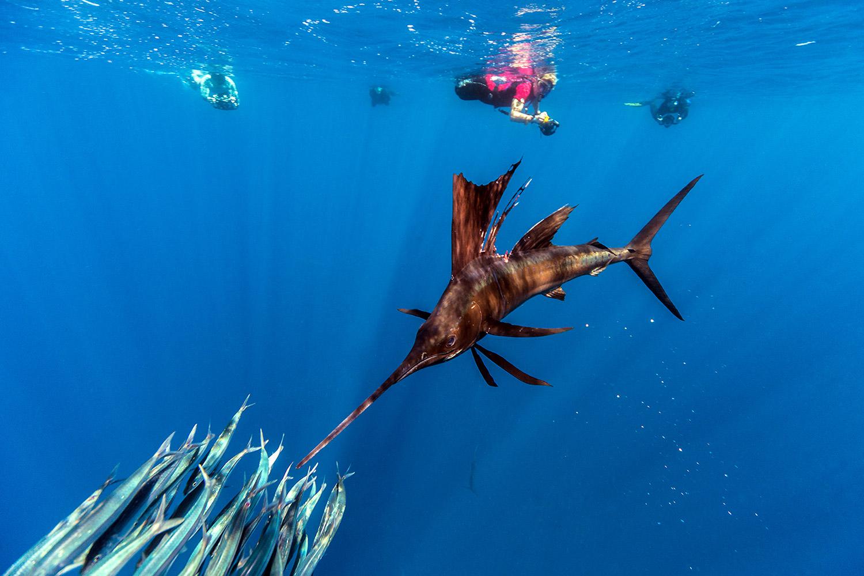 Waterworld Tauchreisen, Segelfisch beim Jagen mit Fischschwarm und Tauchern