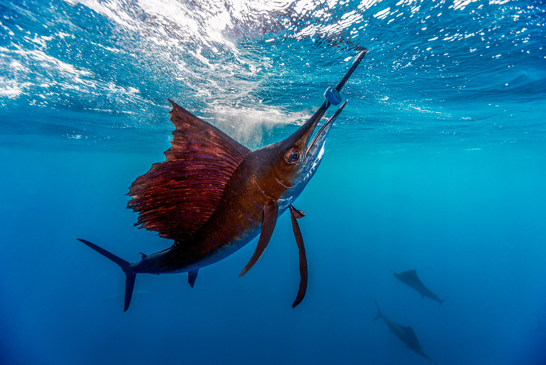 Waterworld Tauchreisen, Segelfisch beim Jagen mit aufgespießtem Fisch