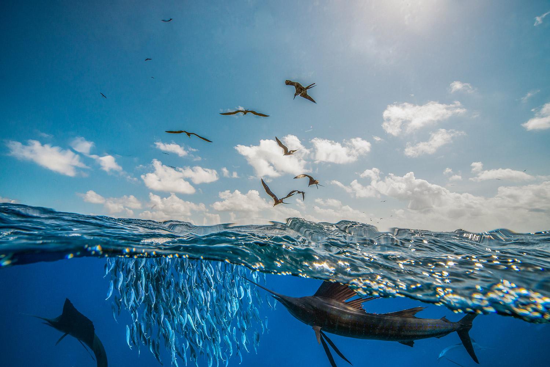 Waterworld Tauchreisen, Segelfische beim Jagen zusammen mit Seevögeln - Fregattvögeln