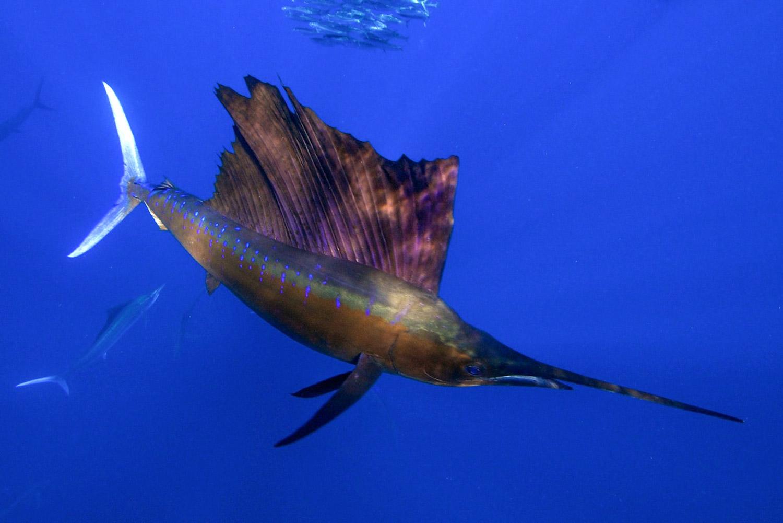 Segelfische beim Jagen