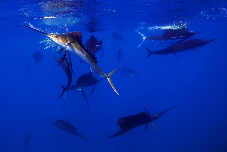 Waterworld Tauchreisen, Segelfische beim Jagen