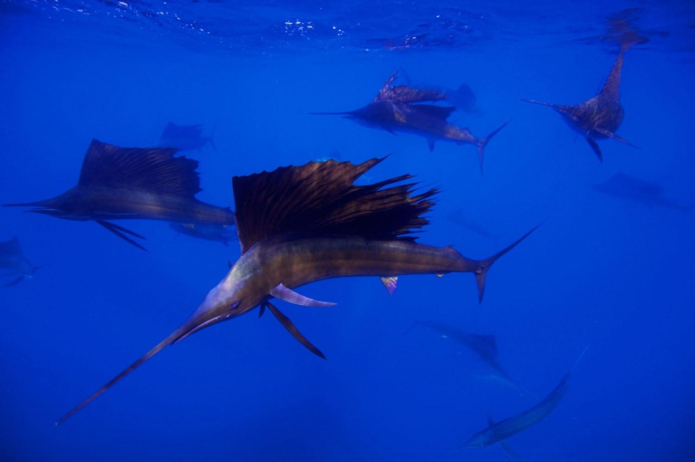 Waterworld Tauchreisen, Segelfischschwarm