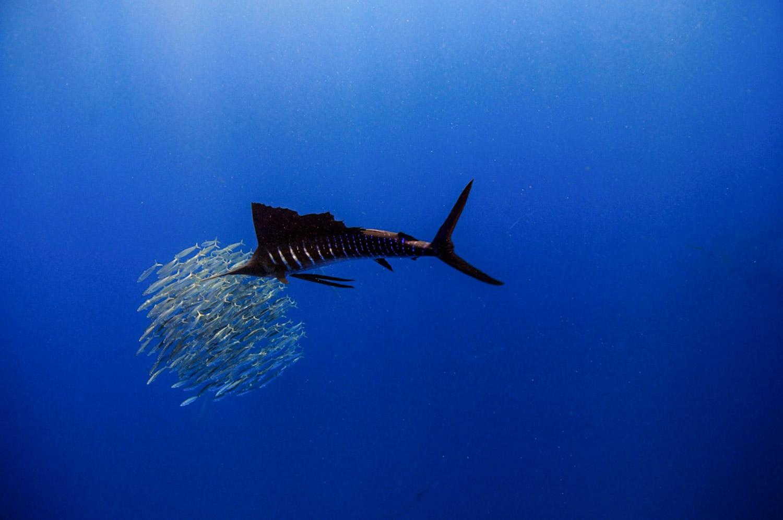 Waterworld Tauchreisen, Segelfisch beim Jagen