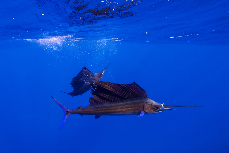 Waterworld Tauchreisen, Segelfische