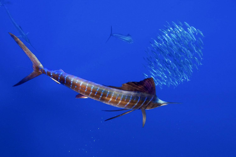Segelfische beim Jagen in blauem Wasser mit Fischschwarm