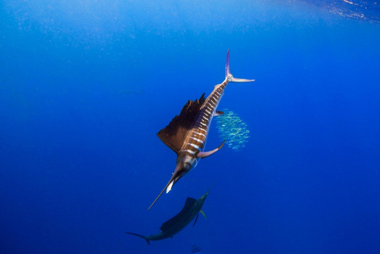 Segelfische beim Jagen in blauem Wasser