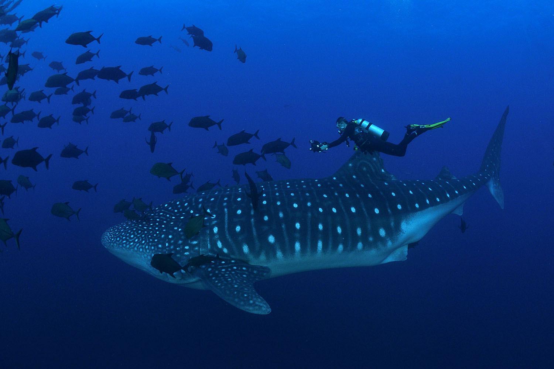 Walhai in Socorro mit Taucher